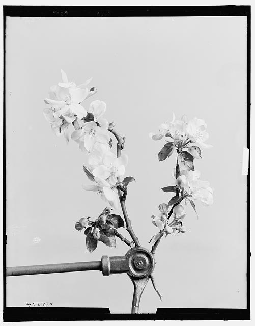 [Apple blossoms]