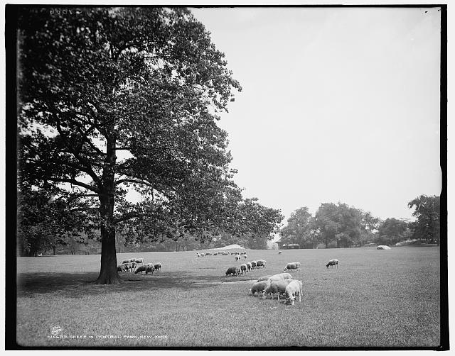 Sheep in Central Park, New York