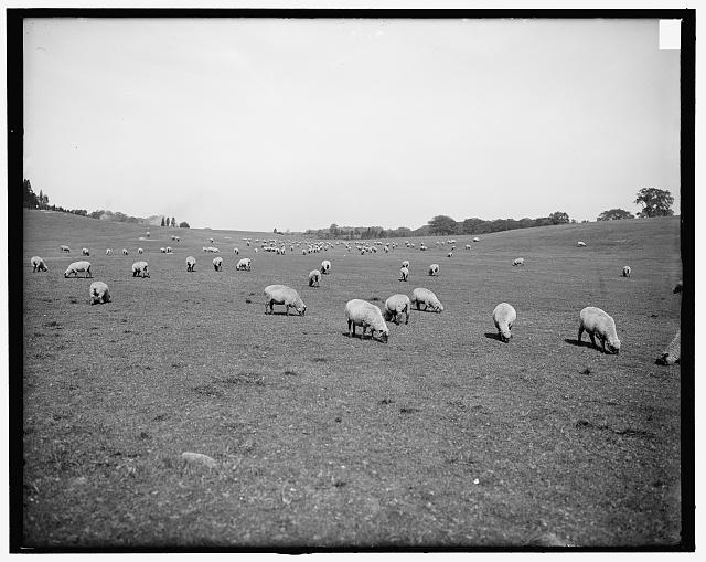 [Sheep in Franklin Park, Boston, Mass.]
