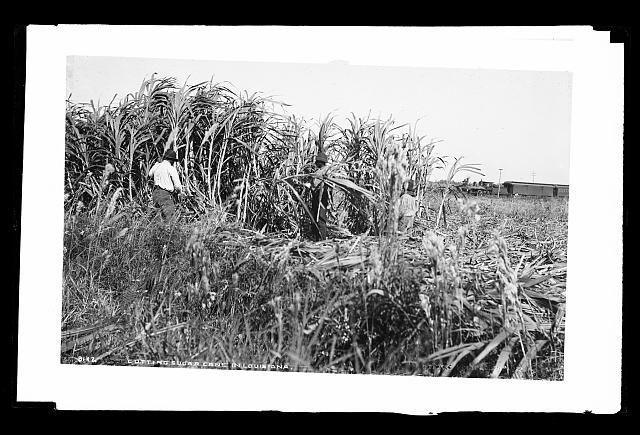 Cutting sugar cane in Louisiana