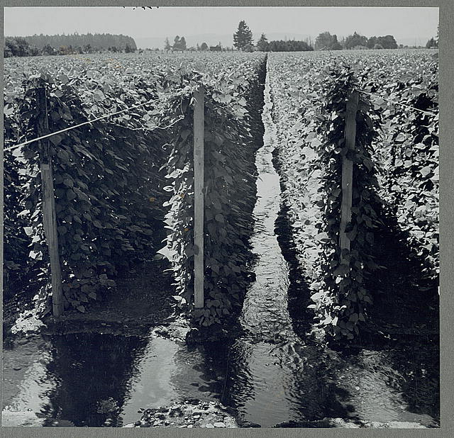 West Stayton (vicinity) Marion County, Ore. Migratory bean pickers. Beanfield, showing irrigation