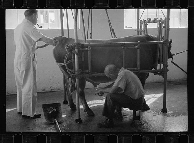 [Untitled photo, possibly related to: Artificial insemination of a cow, one step, Prince George's County, Maryland]