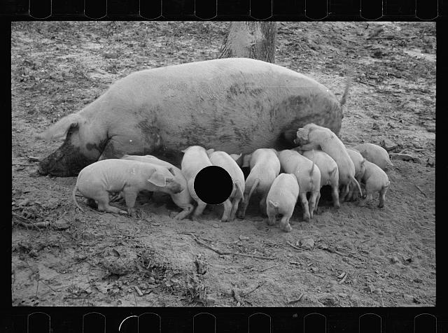 [Untitled photo, possibly related to: Sow with her litter, Prince George's County, Maryland]