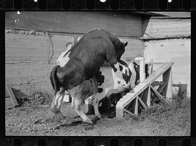 [Untitled photo, possibly related to: Cow about to be mated, Prince George's County, Maryland]