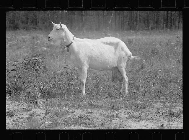 Saanen goat, Prince George's County, Maryland