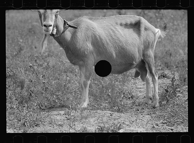 [Untitled photo, possibly related to: Saanen goat, Beltsville, Maryland]