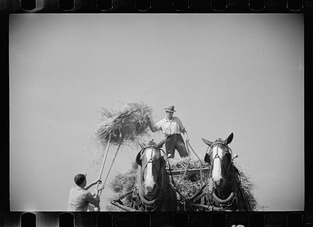 [Untitled photo, possibly related to: Threshing crew loading bundles, Tygart Valley, West Virginia]
