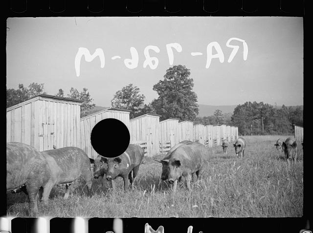 [Untitled photo, possibly related to: Pigs on farm, Tygart Valley, West Virginia]