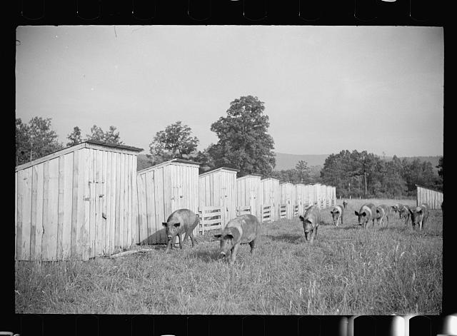 Pigs on farm, Tygart Valley, West Virginia