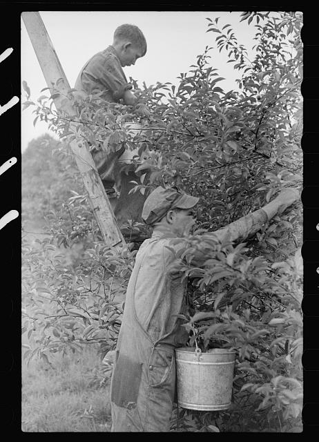 Migrant father and son picking cherries, Berrien County, Mich.