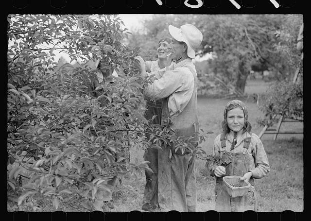 [Untitled photo, possibly related to: Migrant father and daughter picking cherries, Berrien County, Michigan]