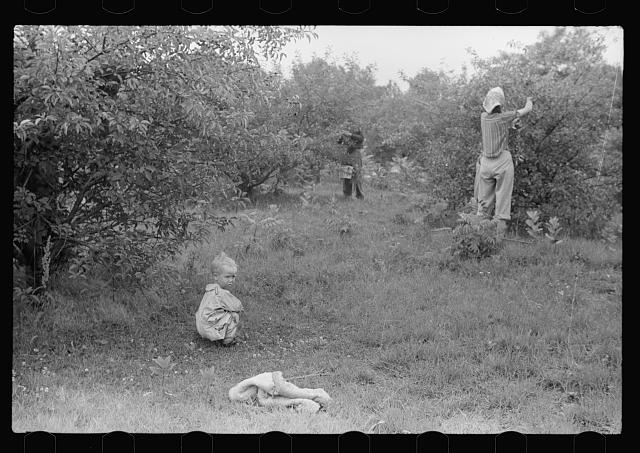 Migrants picking cherries, Berrien County, Michigan
