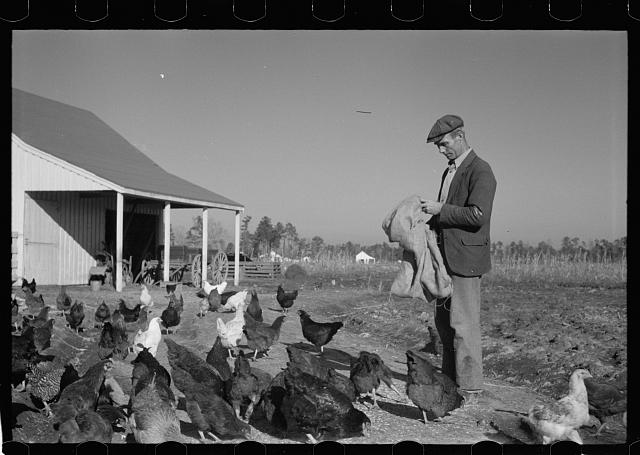Zeb Atkinson with chickens, Penderlea Farms, North Carolina