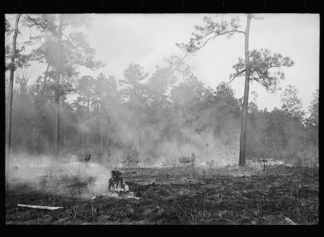 Brushfire in pine forest, southeastern Georgia