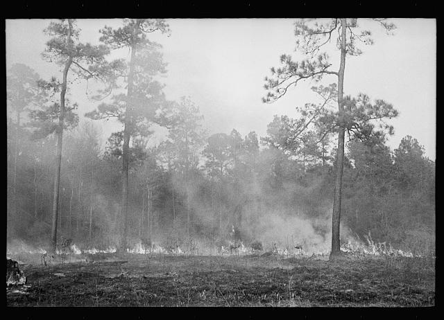 [Untitled photo, possibly related to: Brushfire in pine forest, southeastern Georgia]