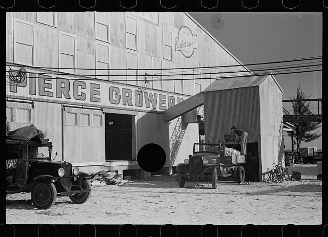 [Untitled photo, possibly related to: Loading grapefruit unfit for packing to sell to local merchants, Fort Pierce, Florida]