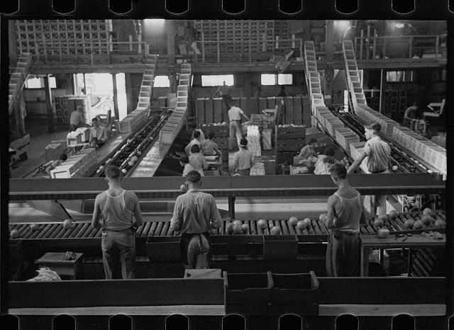 Packing fruit in the packinghouse at Fort Pierce, Florida