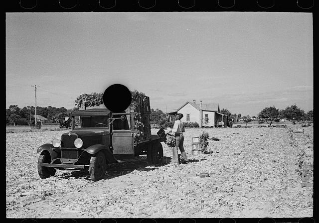 [Untitled photo, possibly related to: Loading newly-harvested celery at Sanford, Florida]