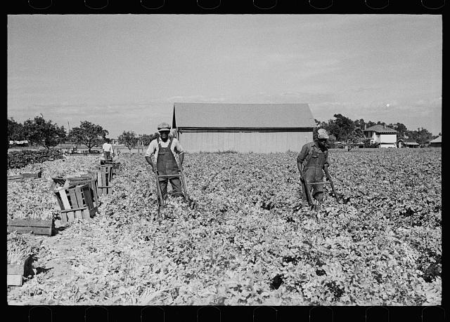 Cutting celery, Sanford, Florida