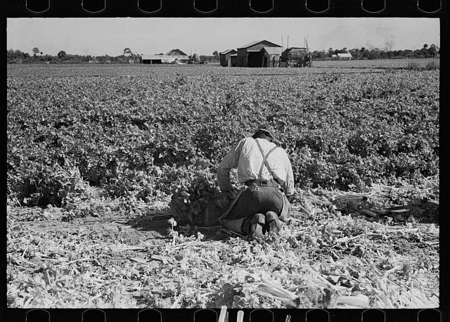 Packing celery immediately after it is cut, Sanford, Florida