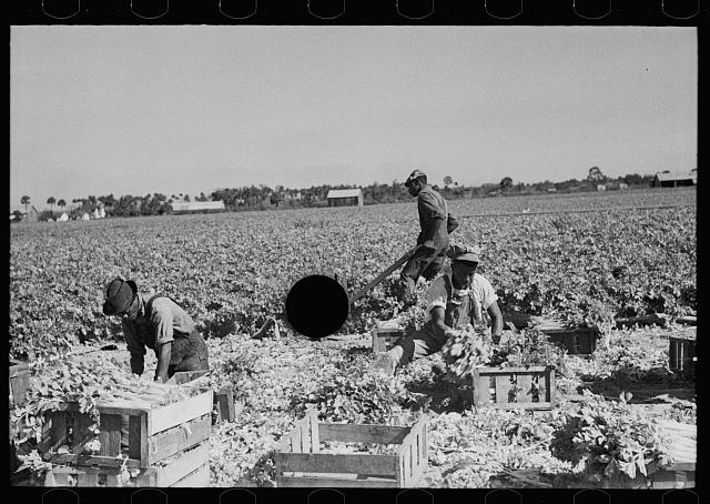 [Untitled photo, possibly related to: Harvesting celery, Sanford, Florida]