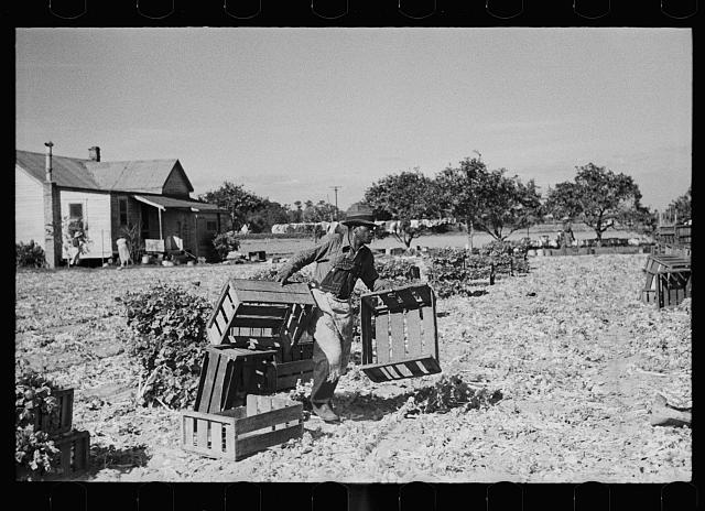 Rushing boxes to the harvesters in the celery field, Sanford, Florida