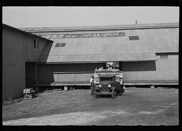 Loading a truck with celery, Sanford, Florida