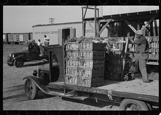 Loading celery, Sanford, Florida