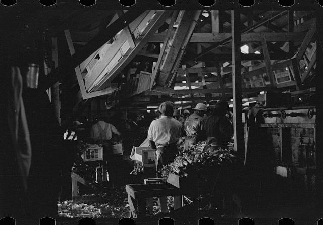 [Untitled photo, possibly related to: Packing celery, Sanford, Florida]