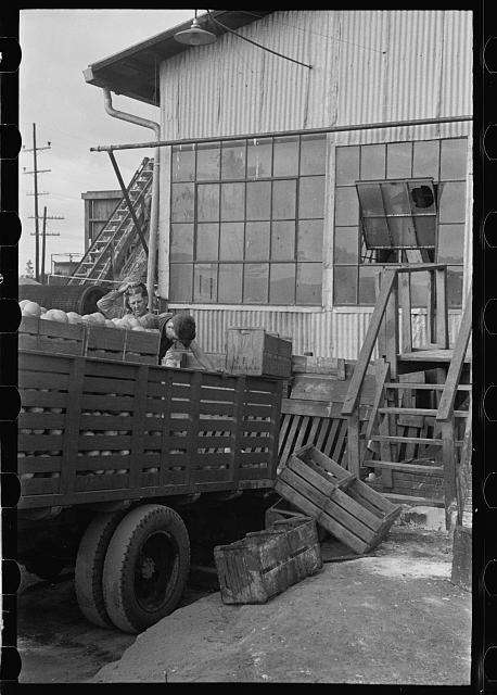 Unloading grapefruit at the canning plant, Polk County, Florida