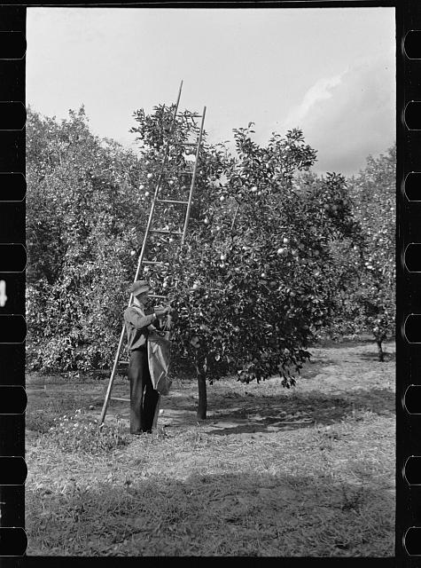 Orange picking in Florida. Much of this type of work is migratory. Polk County, Florida