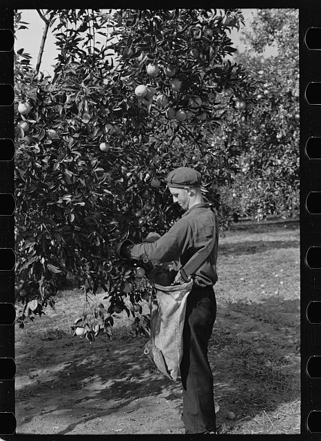 [Untitled photo, possibly related to: Orange picking in Florida. Much of this type of work is migratory. Polk County, Florida]