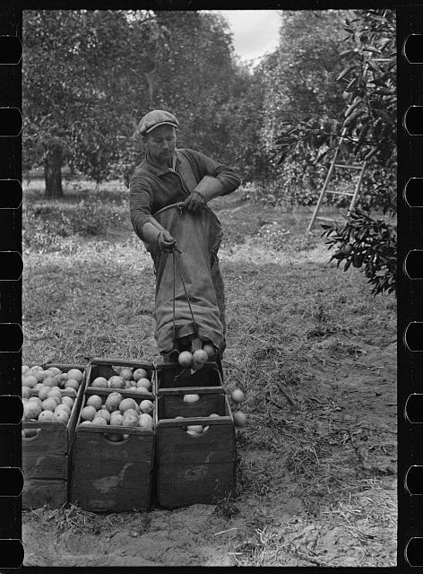 A Florida orange picker. Many of these workers are migrants. Polk County, Florida
