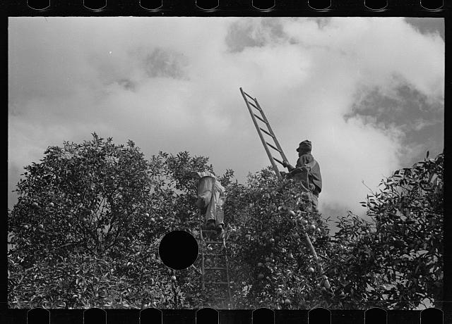[Untitled photo, possibly related to: Orange picking, Polk County, Florida]
