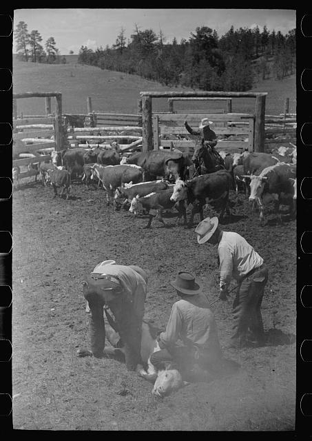 [Untitled photo, possibly related to: Branding calf, Quarter Circle U Ranch roundup, Montana]
