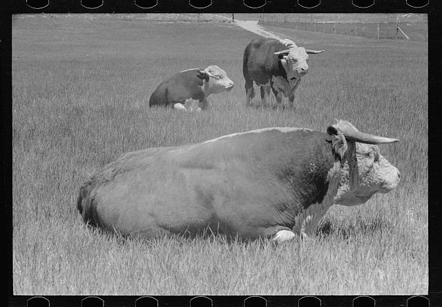 [Untitled photo, possibly related to: Hereford bull, Quarter Circle U roundup, Montana]