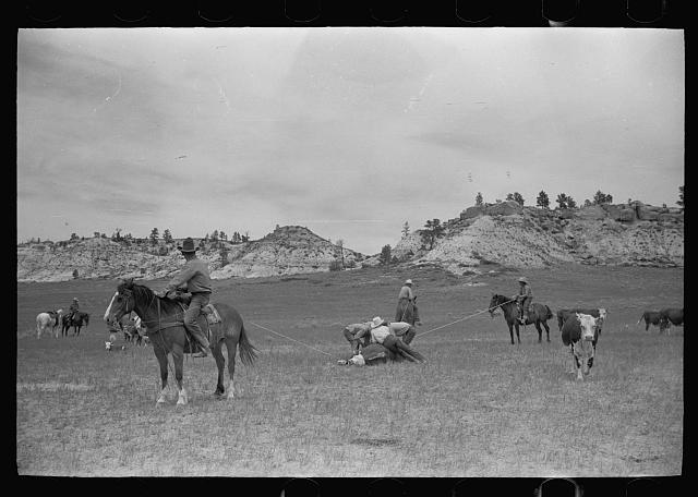 [Untitled photo, possibly related to: Milking a wild cow, Quarter Circle U roundup, Montana]