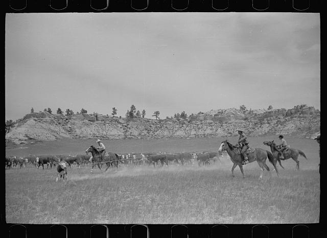 [Untitled photo, possibly related to: Roping a calf, Quarter Circle U Ranch, Montana]