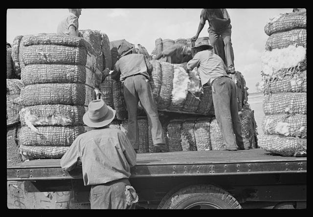 Loading cotton, Natchez, Mississippi