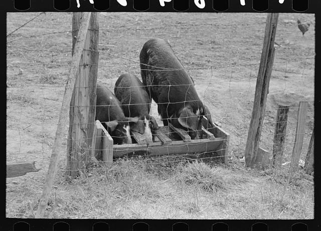 Pigs feeding in trough on farm of FSA (Farm Security Administration) client who will participate in home purchase. Near Morganza, Louisiana