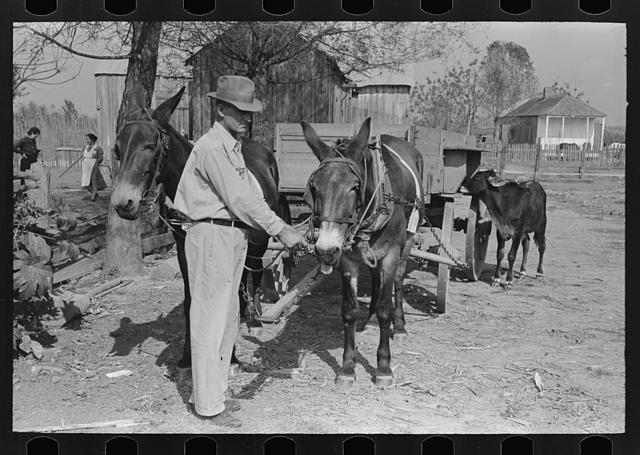 FSA (Farm Security Administration) client with mules, near Morganza, Louisiana
