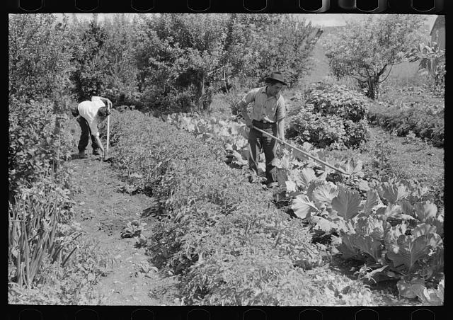 [Untitled photo, possibly related to: Spanish-American farmer working in his garden, Chamisal, New Mexico]