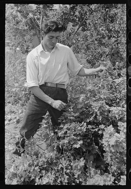 [Untitled photo, possibly related to: Spanish-American farmer and his nephew in the orchard, Chamisal, New Mexico]