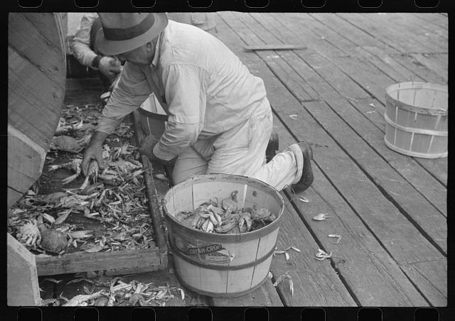 Sorting the cooked crabs for shipping. Rock Point, Maryland