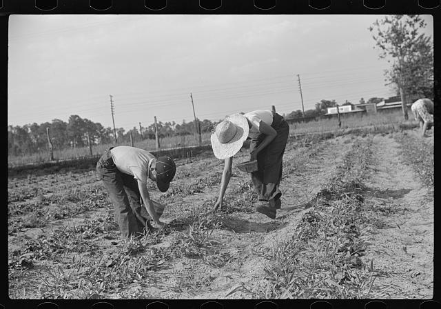 [Untitled photo, possibly related to: Strawberry pickers near Lakeland, Florida (see general captions no. 3 and no. 4)]