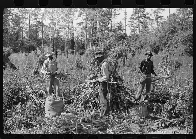 [Untitled photo, possibly related to: Negro sharecropper and two wagehands shucking corn for the landlord, a white woman. On road to Cedar Grove, west of highway No. 14, Orange County, North Carolina]