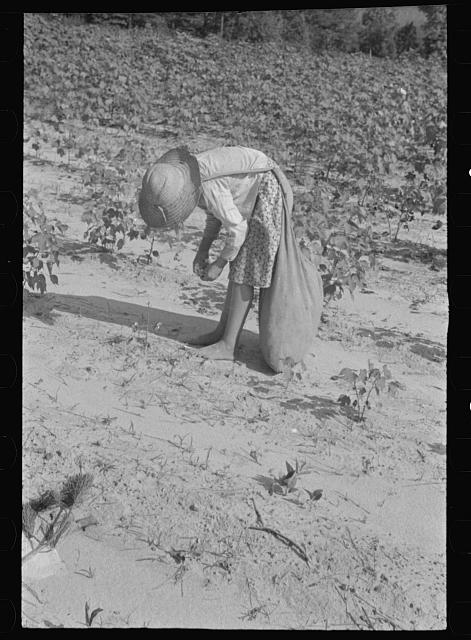 [Untitled photo, possibly related to: Lucille Burroughs picking cotton, Hale County, Alabama]