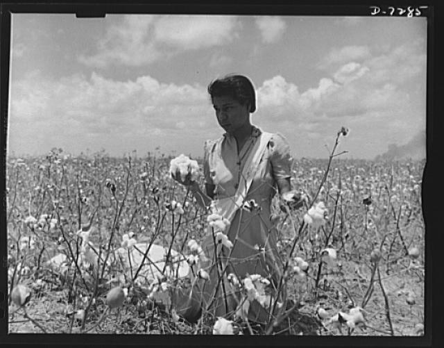 Agricultural. Mexican cotton pickers. Surrounded by the soft white cotton blossoms whose harvesting is essential to America's war effort, this Mexican girl takes a moment's rest from her strenuous picking job. She's one of hundreds of Good Neighbors who gave a helping hand to the farmers near Corpus Christi, Texas, by harvesting the summer cotton crop