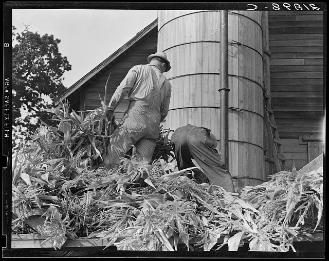 Cooperating farmers feeding corn from the wagon through the ensilage cutter from which it is blown thru the pipe into the silo. Yamhill County, Oregon. See general caption 48
