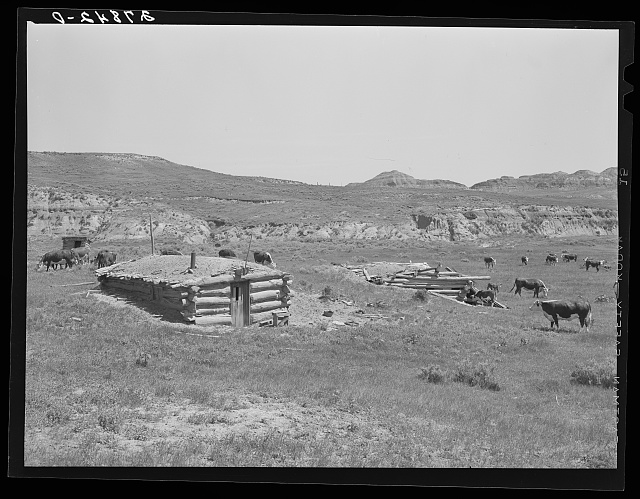 Cattle grazing near a homesteader's abandoned cabin. Unsuccessful attempts at farming have been followed by use of the land for grazing. Custer County, Montana